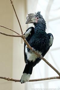 Hornbill - the last dinosaur