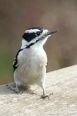Little Woodpecker