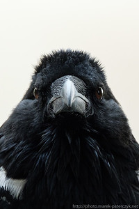 African Crow is not amused