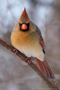 Female cardinal enface