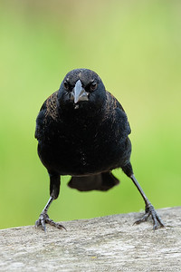 Juvenile Blackbird