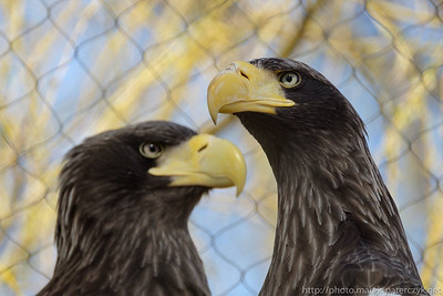 Eagle Couple