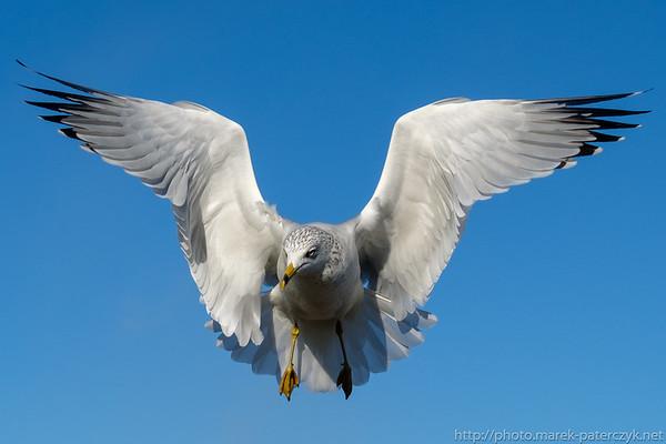 Heraldic Gull