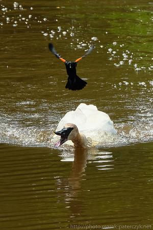 Black bird terrorizing a swan