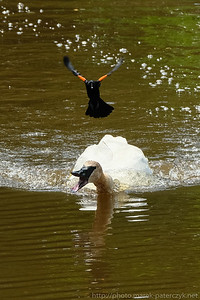 Black bird terrorizing a swan