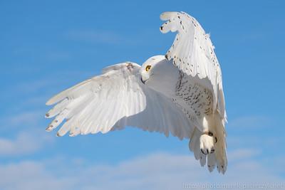Snowy Owl Sky Dance