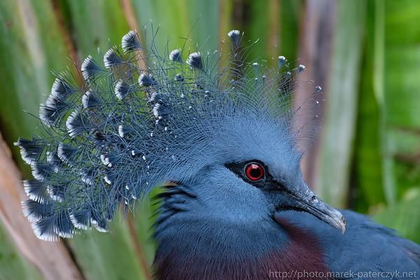 Crown Pidgeon