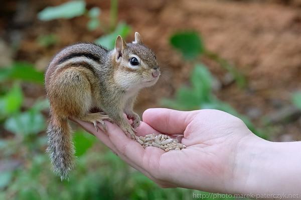 Chipmunk fed on hand