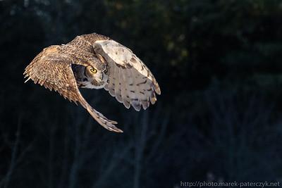 Eagle Owl Ninja