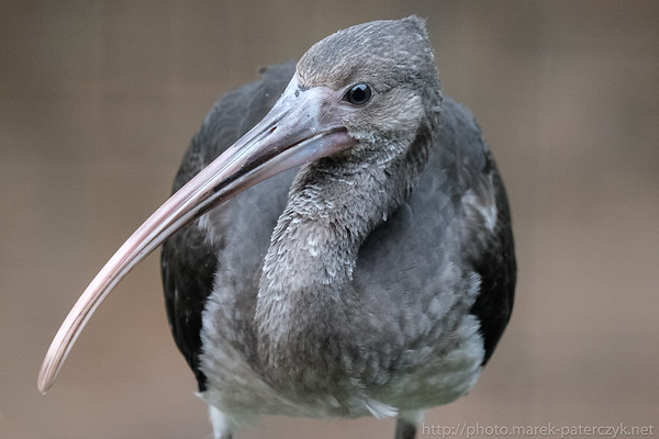 Young Ibis
