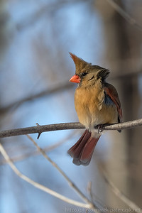Female cardinal on a windy day