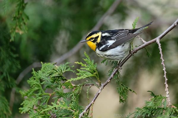 Lasówka rudogardła / Blackburnian warbler