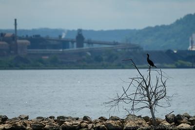 Introvert Cormorant
