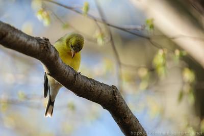 Femalte Goldfinch