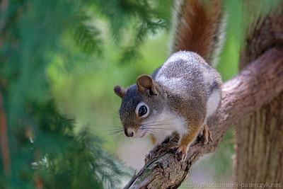 Sosnowiórka / American Red Squirrel