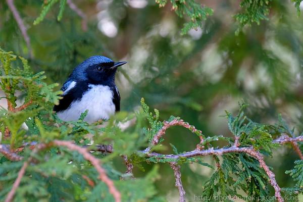Black-thorated Blue Warbler