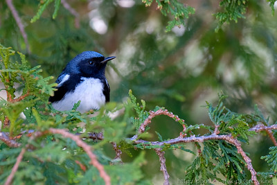 Black-thorated Blue Warbler