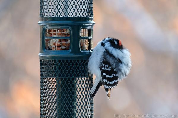 Woodpecker fell asleep at the table