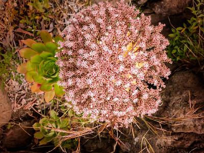 Flowers (La Gomera)