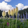 Flowers at Tipsoo Lake