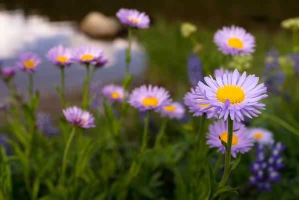 Flowers at Tipsoo Lake