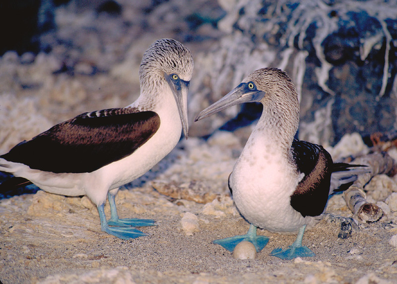 Blue Footed Boobies nesting on an Island called Isla Isabela, between San Blas and Mazatlan, Mexico.