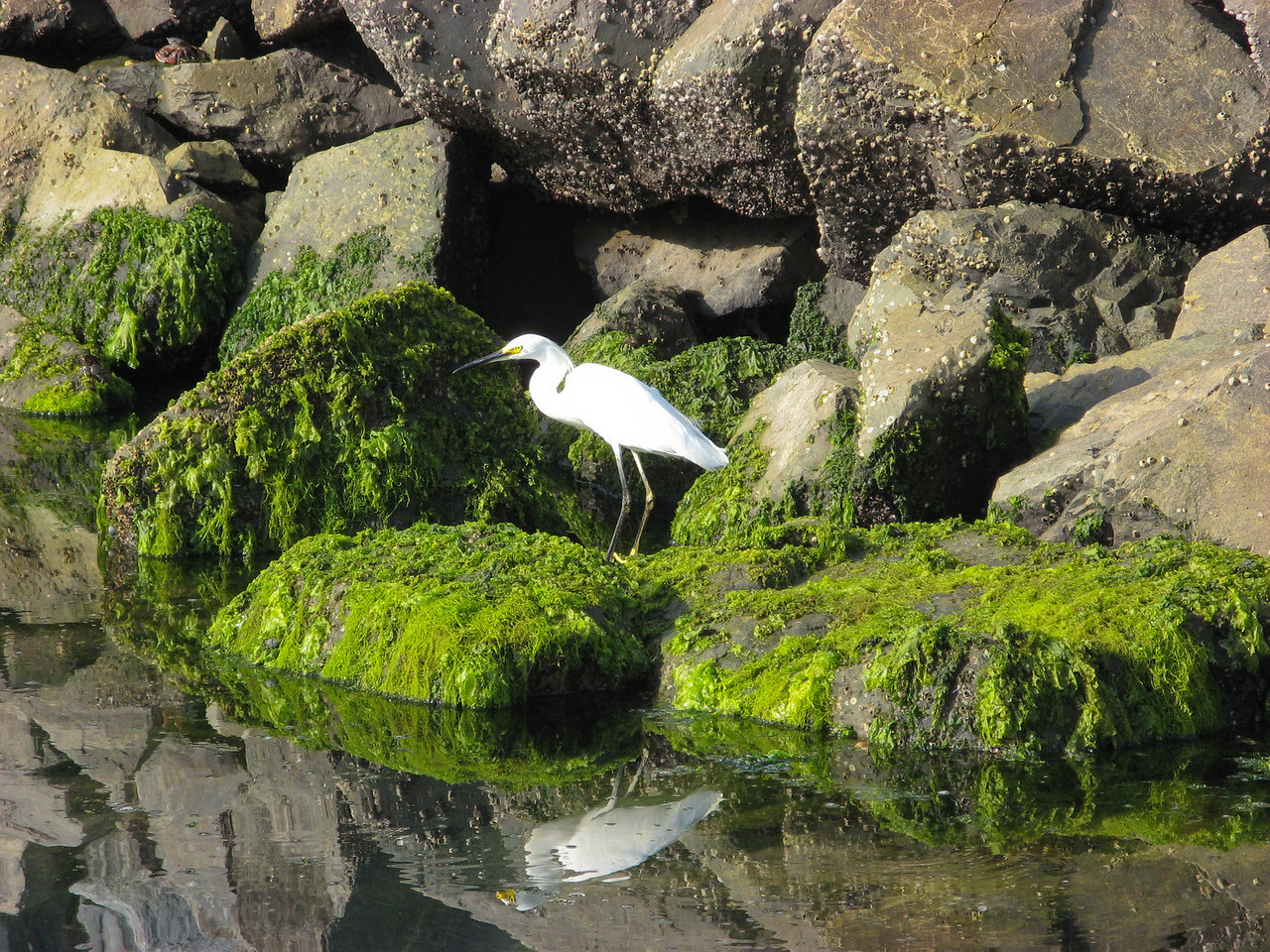 A Snowy Egret on the rocks in the harbor at Ensenada, Mexico.
