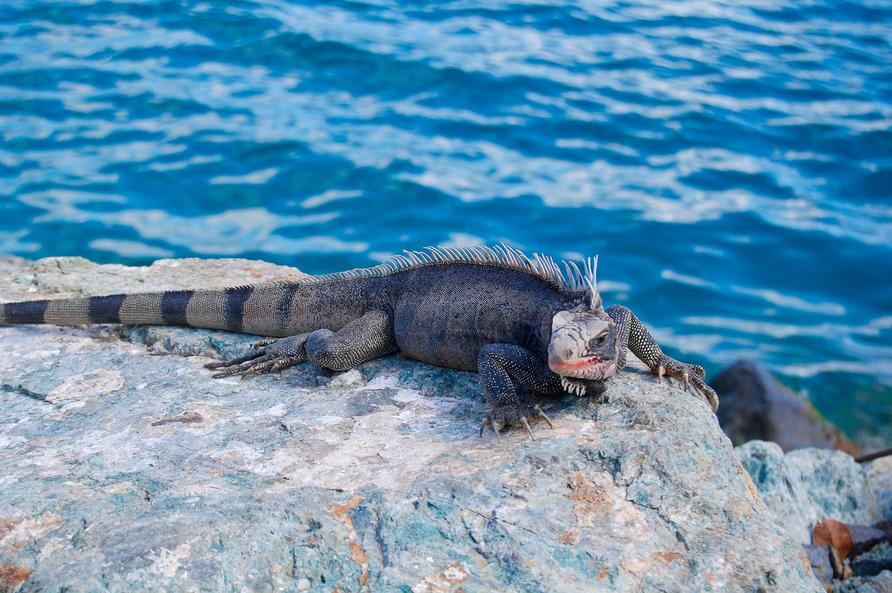 Marine Iguana (I think) in the US Virgin Islands.