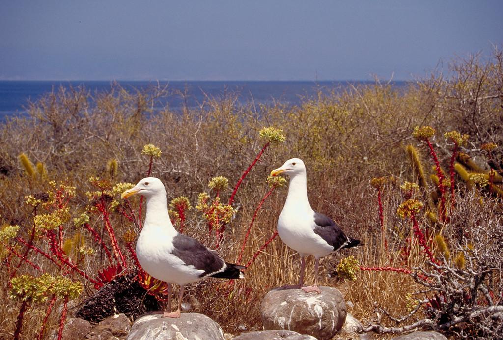 Nesting Sea Gulls on Todos Santos Island, Mexico.