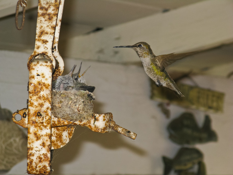 Hummingbird nest at a friend's house.