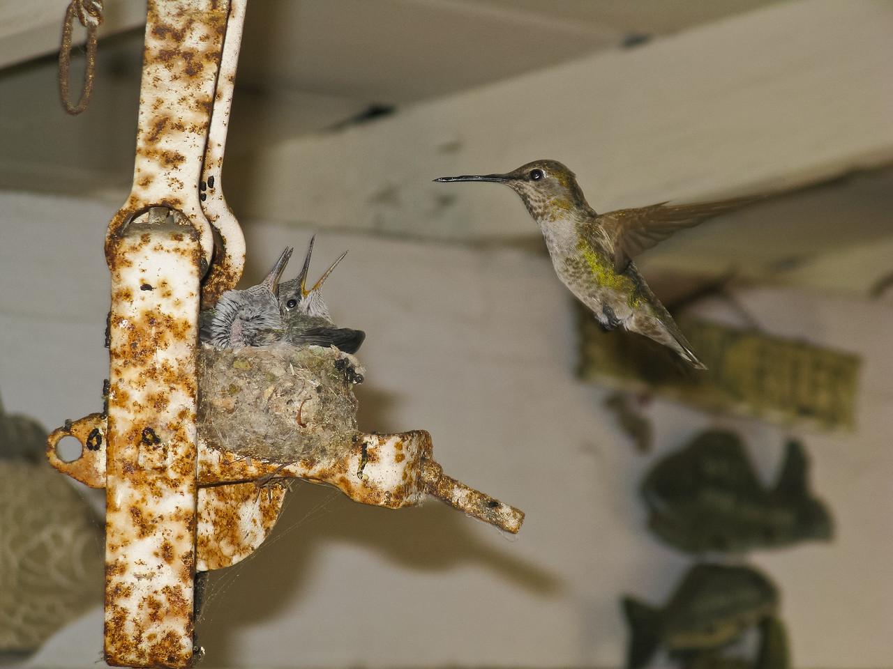 Hummingbird nest at a friend's house.