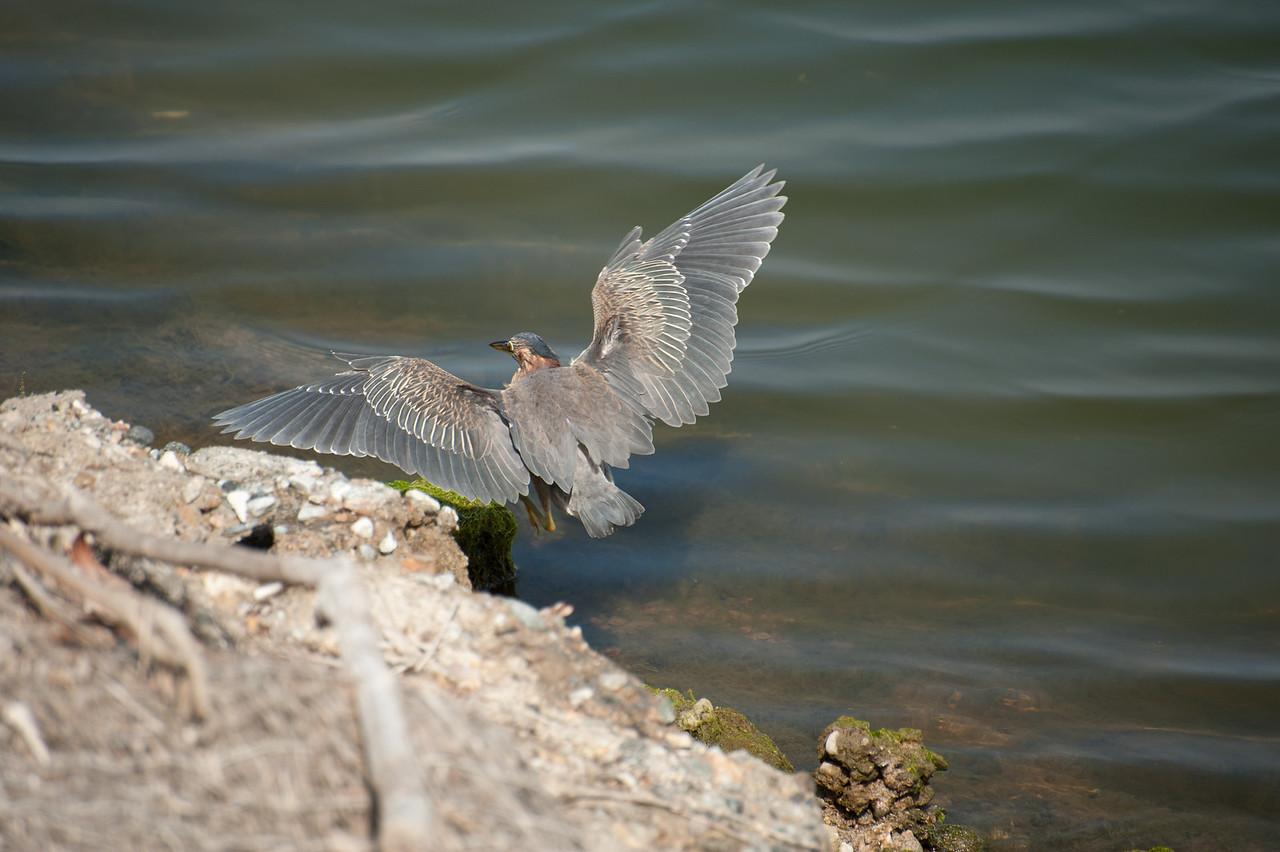 Green Heron (I think) at the Bolsa Chica Wetlands.