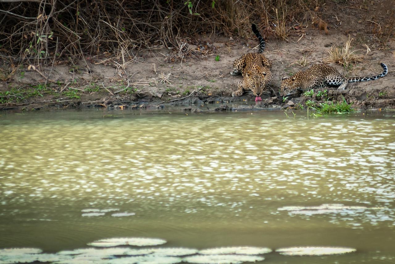 Sri Lankan leopards in Yala
