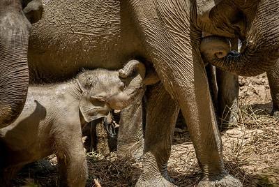 Sri Lankan elephants in Yala