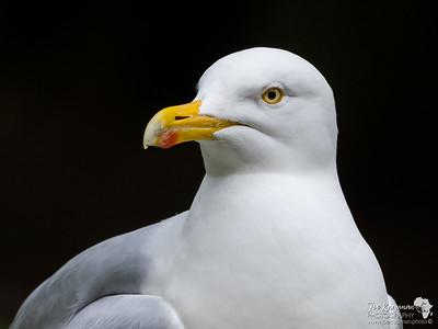 Herring Gull Close up