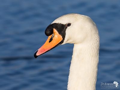 Swans Portrait