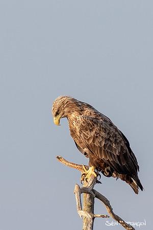 Havørn (White Tailed Eagle)
