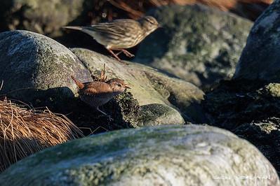 Eurasian wren - Gjerdesmett (front) Eurasian rock pipit - Skjærpiplerke (back)