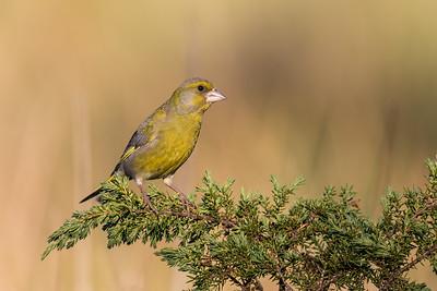 Grønnfink - European greenfinch