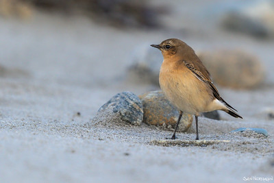 Steinskvett (Northern Wheatear)