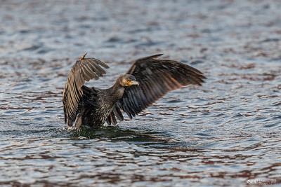 Storskarv (Great Cormorant)