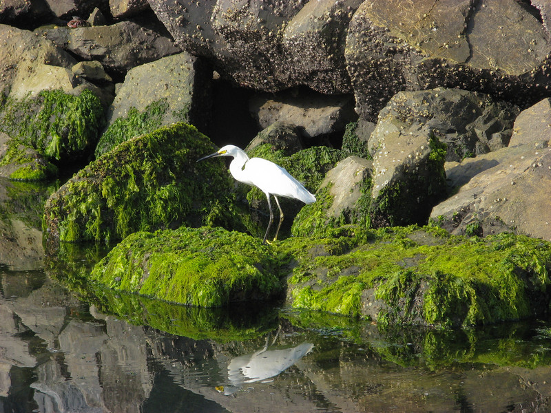 A Snowy Egret on the rocks in Ensenada, Mexico. Taken on July 13, 2006 with a Canon A700 point and shoot.