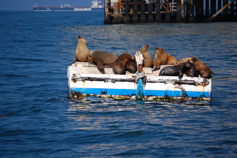 Sea Lions relaxing off of Huntington Beach, California. Taken on April 29, 2009 with a Nikon D40 DSLR.