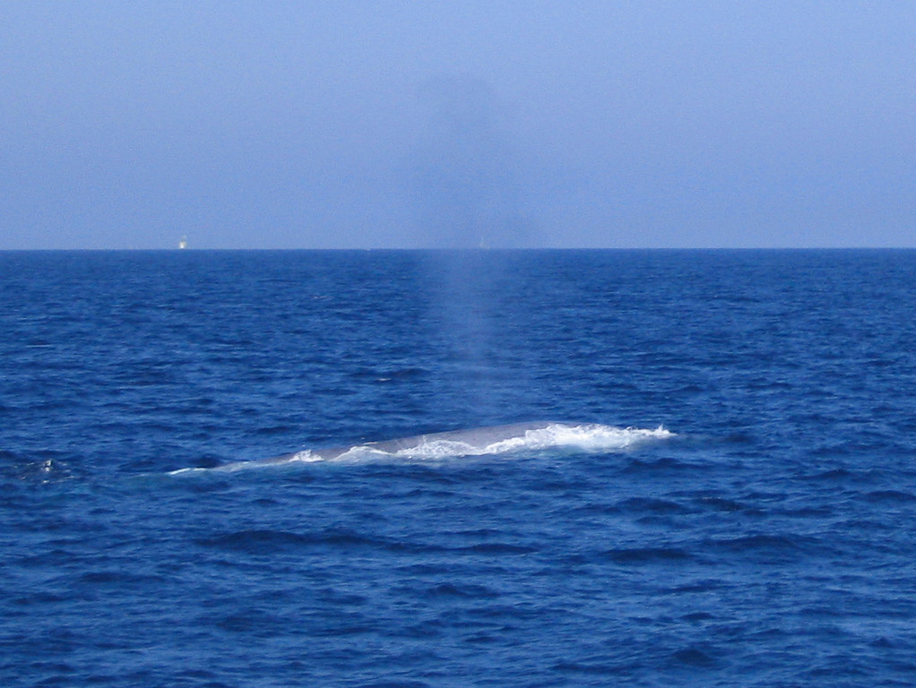Blue Whale somewhere off Catalina Island taken on Aug. 29, 2004 with a Canon A70 point and shoot.