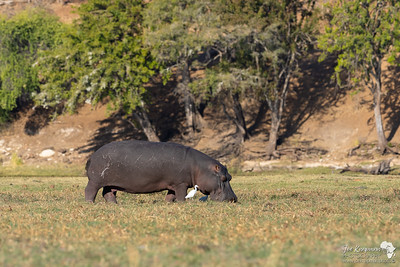 Hippo Grazing during the day