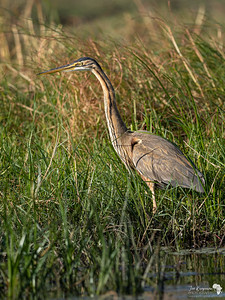 Purple Heron in the thick grass