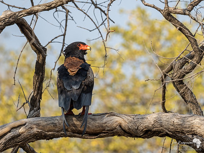 A mature and colourful Bateleur