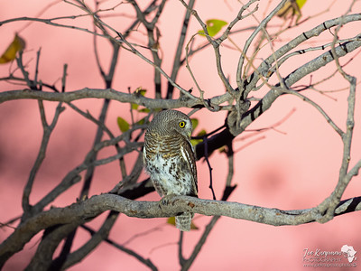 The African Barred Owlet