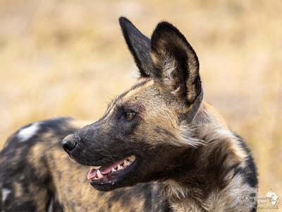 An African Wild Dog - deciding where to go next