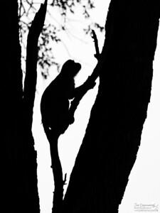 Vervet Monkey Silhouette